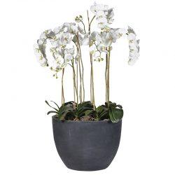 """Växt """"White Lace"""" – Grevinnans Butik & Inredning"""